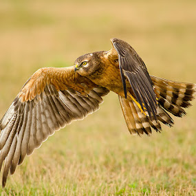 Montagu's Low Flight  by Srikanth Iyengar - Animals Birds ( montagu, flight, srikanth, iyengar, birds, harrier )