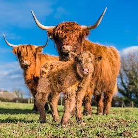Calf by Nigel Bishton - Animals Other Mammals