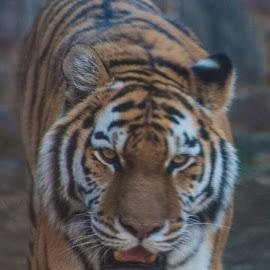 Tiger by Eva Pastor - Animals Lions, Tigers & Big Cats ( big cat, philadelphia zoo, zoo, tiger )