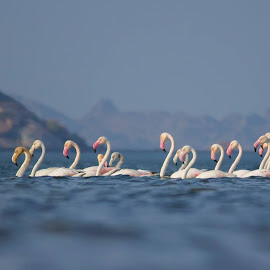 Happy Republic Day.Greater flamingo. Jawai Rajasthan. by Pareekshit Paliwal - Uncategorized All Uncategorized
