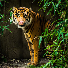 Plucky Tiger by Hugh Clarke - Animals Lions, Tigers & Big Cats ( big cat, dc, animals, tiger, zoo, poster, washington dc, light and exposure, national zoo )