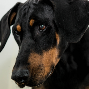 Dreaming by Petra Bensted - Animals - Dogs Portraits ( attitude, pet, dog, doberman, black )