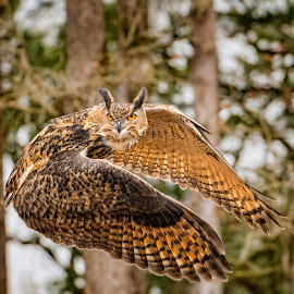 Eurasian Eagle Owl by Judy Rosanno - Animals Birds ( flight, bird of prey, february 2018, owl, horned owl )
