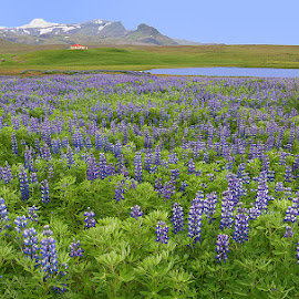 So many Lupine Flowers by Phyllis Plotkin - Landscapes Prairies, Meadows & Fields ( iceland, mountains, lupines, flowers, fields )