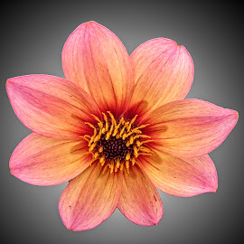 FI dahlia 15 by Michael Moore - Flowers Single Flower