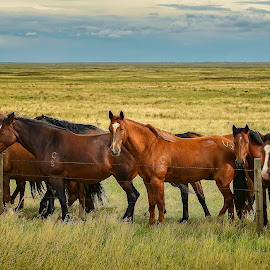 Horses along a fence line by Fred Jennings - Animals Horses ( alberta, horses, fence line )