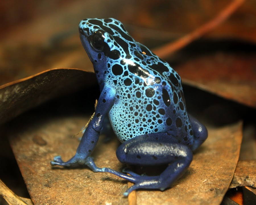 Blue Frog by Ralph Harvey - Animals Amphibians ( frog, blue, wildlife, bristol zoo, animal )