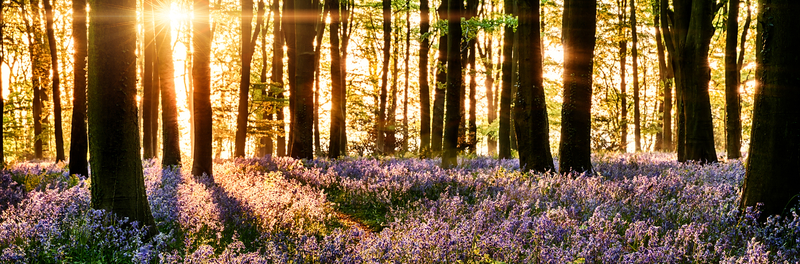 Landscape forest with purple flowers at sunset