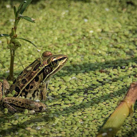 Leopard frog by Mark Halliday - Animals Amphibians ( nature up close., frog, green, amphibian, close up, leopard,  )