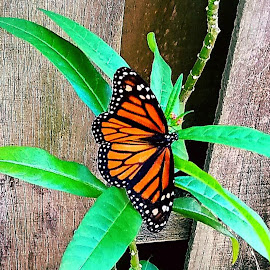Monarch Butterfly by Anne LiConti - Instagram & Mobile Android ( #mobilephotography, #phonephoto, #mobile, #mobilephoto, #instagram, #monarchbutterfly, #butterfly, #phonephotography,  )