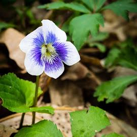 Wild Violet. by Steve Hall - Flowers Flowers in the Wild ( wildflower )