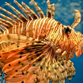 Lion Fish by Amanda Koenigs - Animals Fish