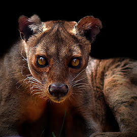 Fossa II by Shawn Thomas - Animals Lions, Tigers & Big Cats