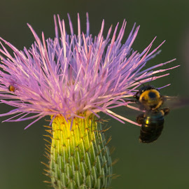 Busy Bee by Kathy Suttles - Flowers Flower Gardens ( macro, bee, nature, purple thistle, buzzzz, suttlimpressions )