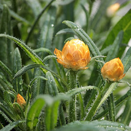 Best Buds by Judy Laliberte - Novices Only Flowers & Plants ( nature, color, dew, buds, flower )