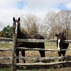 Horses  by Christine Meeske - Animals Horses ( animals, horses, begging, working horses, fences )