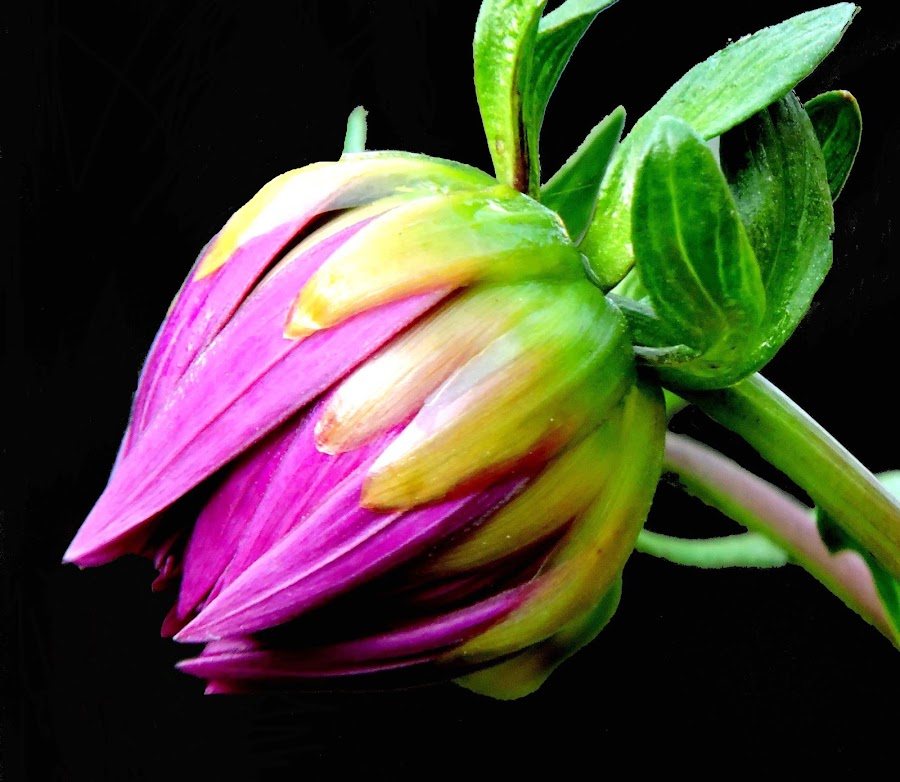 DAHLIA by SANGEETA MENA  - Flowers Flower Buds (  )