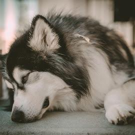 Resting Talkeetna by Stuart Partridge - Animals - Dogs Portraits ( nikon, malamute, husky, partridge, d610 )