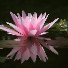 Pure Beauty by Marina Denisenko - Flowers Flower Gardens ( pond, pink, water lilies, waterlily, lily, lotus, nymphaea, water,  )