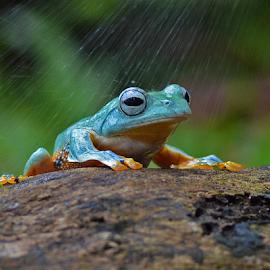 This is rainy, isn't it? by Sigit Purnomo - Animals Amphibians (  )