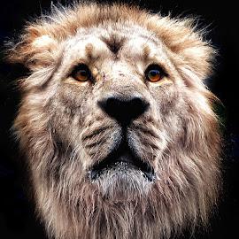 Big cat by Deb Thomas - Animals Lions, Tigers & Big Cats ( big cats, lions )