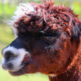 someone needs a haircut by Andrew Barnes - Novices Only Wildlife ( staring, zoo, furry, fur, brown, slow, alpaca, animal )