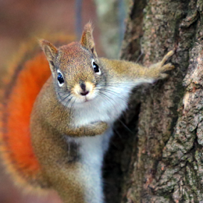 May I Introduce Myself by Skip Spurgeon - Animals Other Mammals ( red squirrel, squirrel )