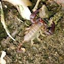 Small wood scorpion