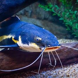 Catfish by Dave Lipchen - Animals Fish ( barbels, catfish, aquarium, whiskers )