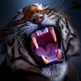Roaring Tiger by Yogeshwar Krishna - Animals Lions, Tigers & Big Cats ( noor, wild, tiger, jungle, ranthambhore, camera, indian, wildlife, india, nikon, photo, photography, animal )