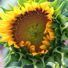 Sunflower by Carol Ward - Flowers Flowers in the Wild ( salisbury, single flower, flowers in the wild, maryland, sunflower field, flowers )