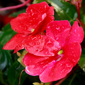 Red and Wet by Jennifer  Loper  - Flowers Flower Gardens ( red, flowers, green, impatiens, wet, garden, water, troical )