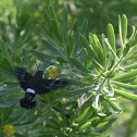 Tantalus Sphinx Moth