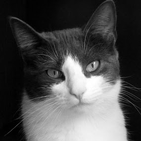 Sarah by Scott Staley - Animals - Cats Portraits ( kitten, cat, pet, feline, portrait,  )