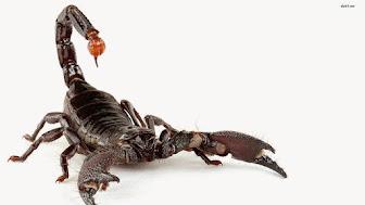 18540-scorpion-1680x1050-animal-wallpaper