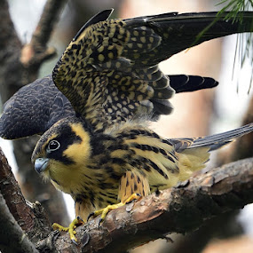Eurasian Hobby by Young Sung Bae - Animals Birds