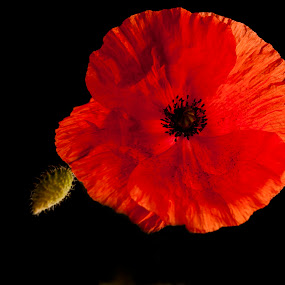 Red On Black  by Russell Mander - Flowers Single Flower ( ww1, poppy, black background, remembarance, red flower )