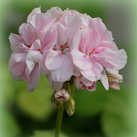 Pelargonium by Caroline Beaumont - Flowers Single Flower ( pelargonium )