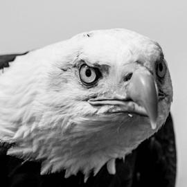 Bald eagle by Garry Chisholm - Black & White Animals ( bird of prey, nature, bald eagle, garrychisholm, raptor )
