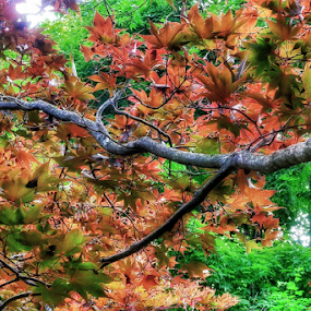 Japanese Maple  by Arie Shively - Nature Up Close Trees & Bushes (  )