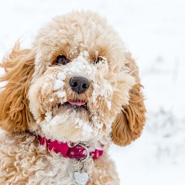 Poppy in the Snow by Tony Walker - Animals - Dogs Playing ( cockapoo, snow, frost, puppy, dog )