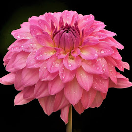 Rain Fresh by Joanne Calderbank  - Flowers Single Flower ( black background, petals, pink, rain drops, dahlia, flower )