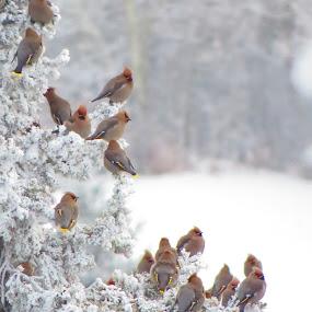 Waxwing  by Pamela Zeng - Animals Birds