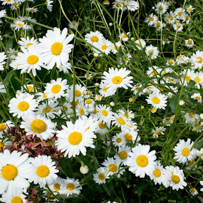 Hyde Hall daisies by Mike Tricker - Flowers Flower Gardens (  )