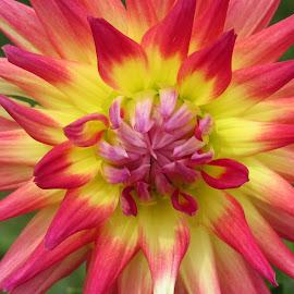Spiky Dahlia by Lynne Miller - Flowers Single Flower ( lynne miller, flower., red, maine, alfred, spiky dahlia, yellow )