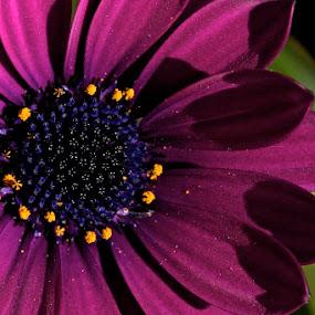 Purple Heart by Dora Korz - Nature Up Close Flowers - 2011-2013 ( nature, purple, close up, flower )