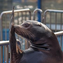 I'm pretty by Vibeke Friis - Animals Amphibians ( preforming seal,  )