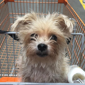Roxie riding in the buggy at Home Depot!!! by Kristian N Shawn Jackson - Animals - Dogs Portraits