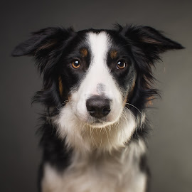 Studio portrait of Apollo by Börje Ensgård - Animals - Dogs Portraits ( studio, border collie, tri color, grey, dog, strobe )