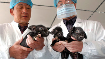 cloning-piggie